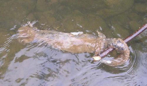 http://www.fishandboat.com/water/streams/sinnemahoning/norfolk_report.pdf